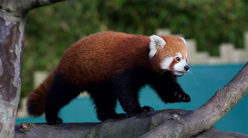 red-panda-zoo